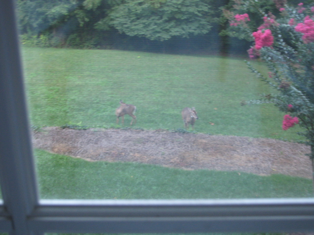 backyard_deer.jpg